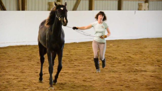 Marie shows how she does some basic training on her yearling filly who is still too young to longe.