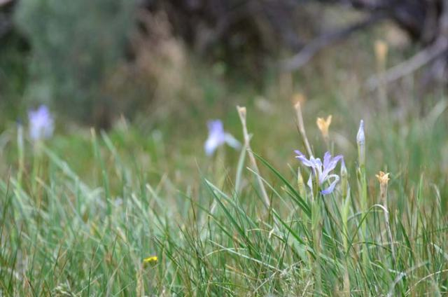 Wild iris in a meadow where we stopped to water our horses.