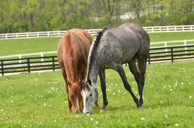 Two lovely Thoroughbred gals.