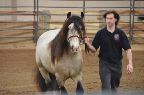 Lovely head-on view of this young Gypsy Vanner stallion.
