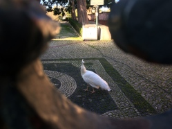 A white peacock at the Botanical Garden in Belem. I was just walking by on the sidewalk when I glanced through the gate and saw it. First one ever.