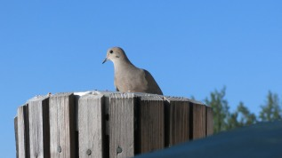 Mourning dove takes advantage of morning meal.